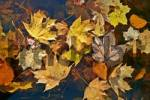 Thumbnail Autumn leaves on waters surface