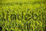 Thumbnail cereal grain field in spring