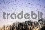 Thumbnail Starling swarm, flocking starlings Sturnus vulgaris, Lake dümmer nature reserve, Lower saxony, Germany