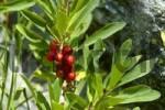 Thumbnail Daphne with red fruit near Glacier de Tre la Tete Haute-Savoie France
