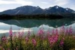 Thumbnail Fireweed Epilobium angustifolium blooming along Lake Benett, British Columbia, B.C., Canada