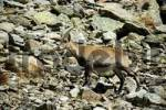 Thumbnail Capricorn ibex in the wilderness at Le Nid dAigle in rocky scree Haute-Savoie France