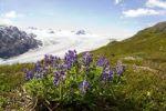 Thumbnail Arctic Lupin, Lupinus arcticus, Harding Icefield, Kenai Peninsula, Alaska, USA