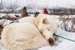 Thumbnail curled-up white husky, sled dog, resting, Yukon Territory, Canada