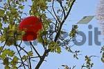 Thumbnail red balloon with postcard hanging between the branches of a tree, air mail, Germany