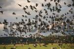 Thumbnail European Starlings Sturnus vulgaris landing in a field during autumn