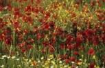 Thumbnail meadow with poppy flowers on Samothraki island, Thrakia, Greece