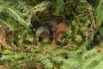 Thumbnail Eurasian Red Squirrel Sciurus vulgaris young in drey, four weeks old