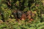 Thumbnail Eurasian Red Squirrel Sciurus vulgaris young in nest, four weeks old, eyes opened