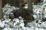 Thumbnail Wild Boar Sus scrofa male in winter forest