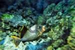 Thumbnail Middle East Egypt Red Sea Yellow margin Triggerfish Pseudopalistes flavimarginatus
