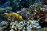 Thumbnail Middle East Egypt Red Sea Bullhead Parrotfish Chlorursus sorditus