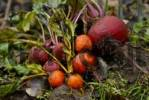 Thumbnail beetroot Beta vulgaris, Lollipop mix, freshly harvested