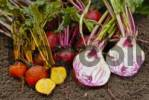 Thumbnail beetroot Beta vulgaris, Lollipop mix, freshly harvested and cut open