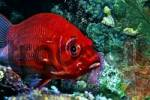 Thumbnail Middle East Egypt Red Sea, Long jawed Squirrelfish, Sargocentron spiniferum