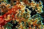 Thumbnail Middle East Egypt Red Sea, Oceanic Soft Coral, Nephtya sp