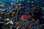 Thumbnail Middle East Egypt Red Sea, Basslets Anthiinae and Long jawed Squirrelfish, Sargocentron spiniferum