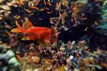 Thumbnail Middle East Egypt Red Sea, Basslets, Anthiinae and Long jawed Squirrelfish, Sargocentron spiniferum