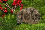 Thumbnail young hedgehog in autumn Western Hedgehog European Hedgehog