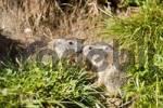 Thumbnail Alpine marmot Marmota marmota, Franz Josefs Hoehe, Hohe Tauern National Park, Austria, Europe