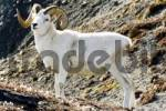 Thumbnail Dall Sheep Ovis dalli buck with horns, cottongrass, Yukon Territory, Canada