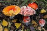Thumbnail fly amanita - fly agaric - toadstool - mushroom Amanita muscaria