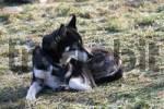 Thumbnail Siberian Husky