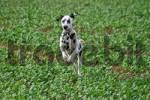 Thumbnail jumping dalmatian