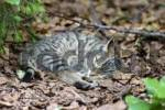 Thumbnail European Wildcat Felis silvestris, cup, Bavarian Forest