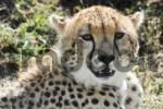 Thumbnail Cheetah Acinonyx jubatus, Masai Mara National Reserve, Kenya, Africa
