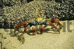 Thumbnail crabs on the beach from galapagos