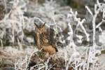 Thumbnail Eurasian Eagle Owl Bubo bubo in frost-covered forest