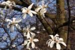 Thumbnail White Magnolia Magnolia
