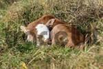 Thumbnail Zebu calf Bos taurus indicus