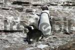 Thumbnail Spheniscus, Jackass Penguin , Blackfooted Penguin or African Penguin, Halifax Island, Luederitz, Atlantic ocean, Namibia, Africa