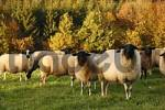 Thumbnail typical sheep, Rhoen, Franconia, Bavaria, Germany