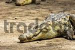 Thumbnail Nile crocodile, m