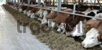 Thumbnail Cows feeding in barn