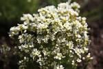 Thumbnail Hutchinsia auerswaldii
