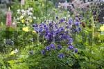 Thumbnail Columbine, Aquilegia vulgaris, garden plant, Germany