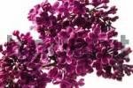 Thumbnail Purple Lilac Syringa