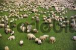 Thumbnail Herd of sheep