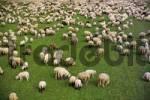 Thumbnail Herd of sheep