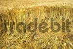 Thumbnail Wind blowing through a cornfield