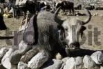 Thumbnail Yak, Sagarmatha National Park, Khumbu Himal, Nepal