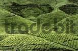 Thumbnail tea plantation in Cameron Highlands Malaysia