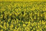 Thumbnail Field of Rapeseed, Brassica napus