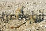 Thumbnail African ground squirell Xerus rutilus, Etosha National Park, Namibia, Africa