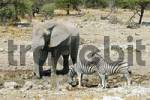 Thumbnail Elephant Loxodonta africana and zebras Equus quagga burchelli at waterhole in Etosha National Park, Namibia, Africa