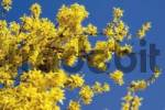 Thumbnail Forsythia shrub Forsythia